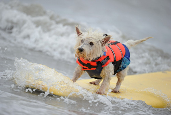 huntington-beach-dog-surf-1