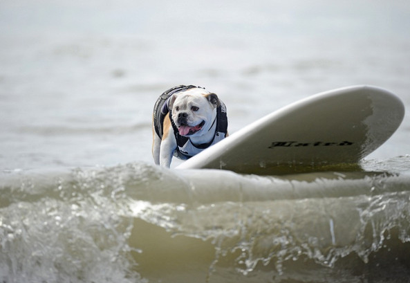 huntington-beach-dog-surf-3