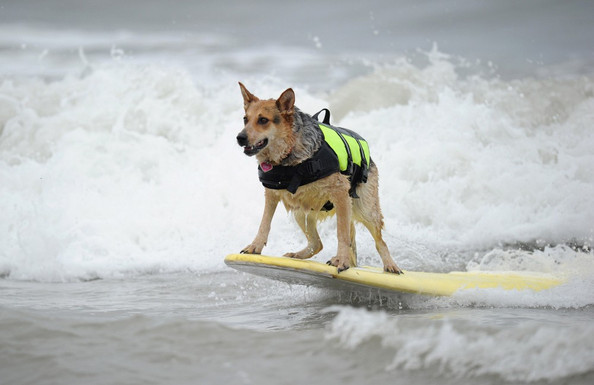 huntington-beach-dog-surf-7